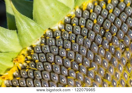 organic sunflower seed for background uses close