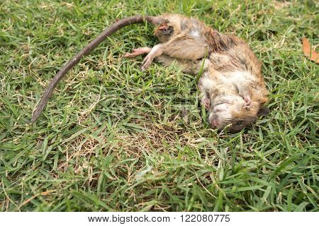 a dead rat on grass  in thailand