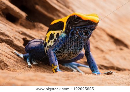 yellow blue poison dart frog, Dendrobates tinctorius, a poisonous animal from the tropical Amazon rain forest in Brazil.