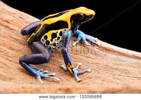 poison dart frog, Dendrobates tinctorius a poisonous animal from the Amazon rain forest in Brazil.