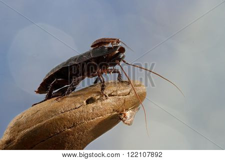 closeup little Madagascar cockroach is sitting on a large cockroach on a blue background/closeup two Madagascar cockroaches and butterfly on a stone on blue background