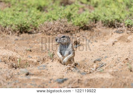 A ground squirrel Xerus inauris peeping out from its den in the Mountain Zebra National Park near Cradock in South Africa