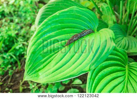 Leopard slug on a green leaf Hosta Sum