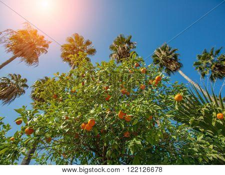 Bitter orange trees and the sky in Adana Turkey