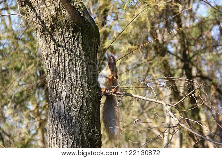 Flirty, graceful squirrel sitting on a thin branch growing from the tree, red ears, grey skin, keeps legs and eats an Apple