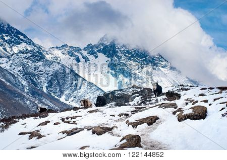 Yak in the mountains in Sagarmatha National Park Himalayas Nepal