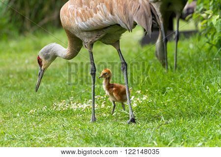 sandhill crane and 7 days old baby chick