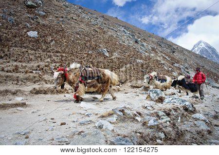 SAGARMATHA NATIONAL PARK NEPAL - CIRCA MARCH 2014: Himalayan Herdsman and Yak on the trail near Everest Base Camp in Nepal circa March 2014.