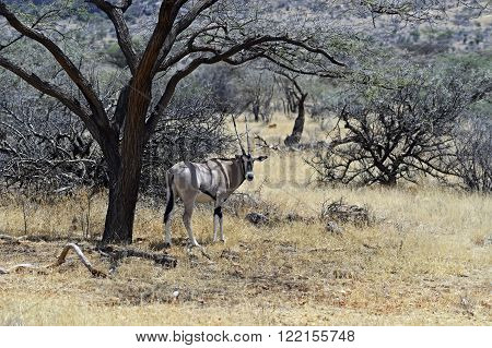 Oryx Gazella In The Savannah