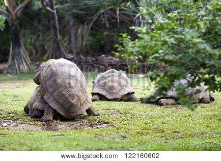 two Big Seychelles turtles sympathizing each other. Mauritius