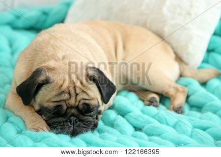 Pug dog lying on blanket