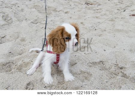 One beautiful cute friendly pure breeded small dog pet puppy white color long hair with brown ears sitting awaiting outdoor on beach sand, horizontal picture