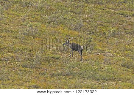 Lone Caribou in the Tundra in Denali National Park in Alaska