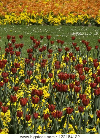 yellow and red tulips in the german spring