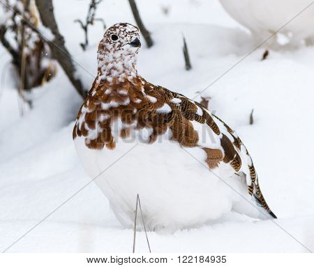 Willow Ptarmigan In Denali National Park