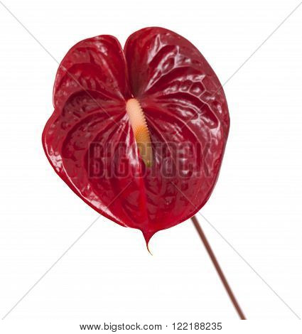 dark red anthurium flower isolated on white