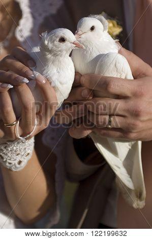 Wedding pigeons in hands of the bride and groom