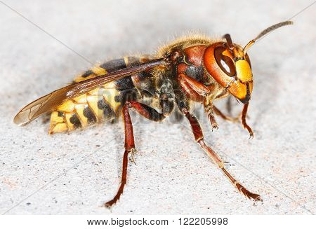 close up of European hornet (Vespa crabro)