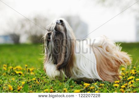dog breed Shi tzu running on the grass with dandelions coat fluttering in the wind