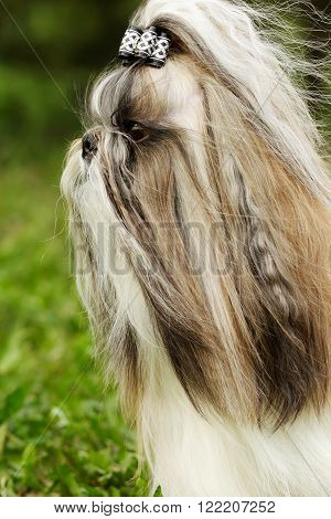 dog breed Shi tzu - portrait with bow in profile