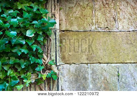 Close up of weathered and mossy medieval era stone wall with vines and copy space over the blocks
