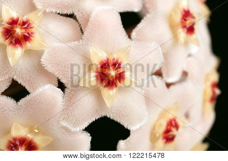 Macro Of Wax Plant  Flower