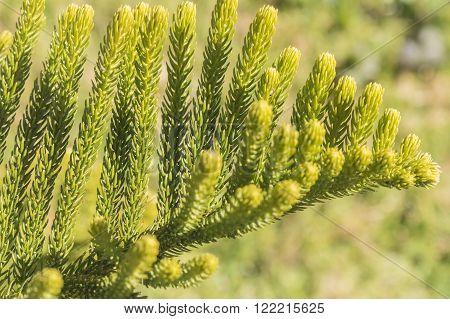 Araucaria heterophylla Leaf, Araucaria  excelsa is a member of the Araucariaceae