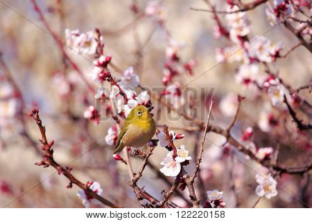 Mejiro on a twig of japanese apricot