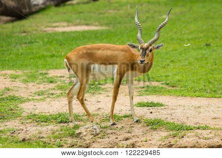 Blackbuck (Antilope cervicapra) or deer in zoo.