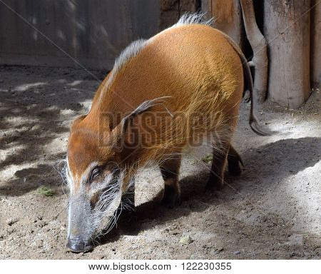 Photograph of a hog eating from the ground.