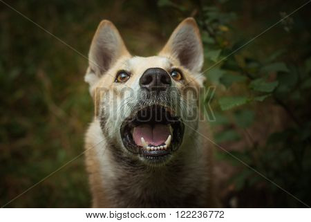 Foxy husky with wide open mouth is surpisly looking to the photographer