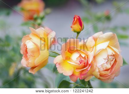 Close view of pink yellow roses blossoms. Lady of Shalott. D.Austin Englan 1992.