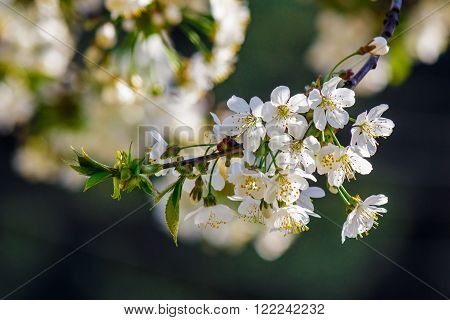 twig with white flowers of apple tree on a blurred background of pink leaves