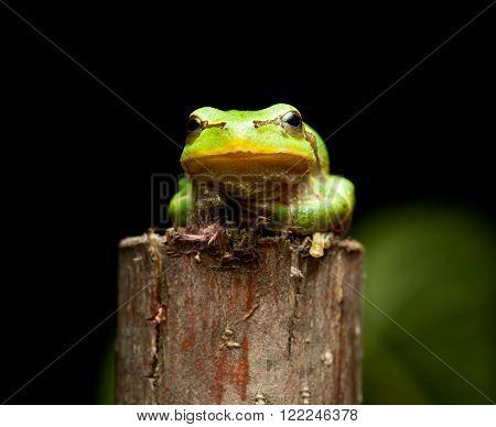 Macro of European tree frog (Hyla arborea) sitting on branch at night