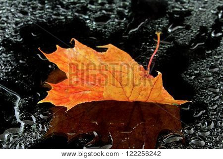 a wet maple leaf on a black background ** Note: Soft Focus at 100%, best at smaller sizes