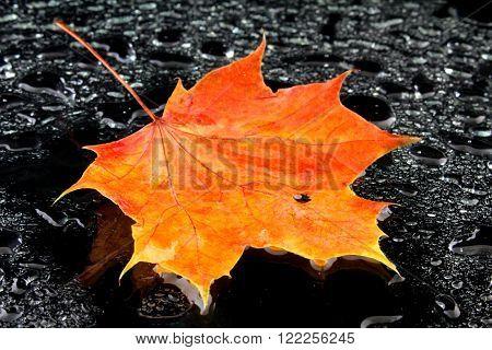 a wet maple leaf on black background