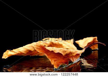 a autumn leaf on a black background