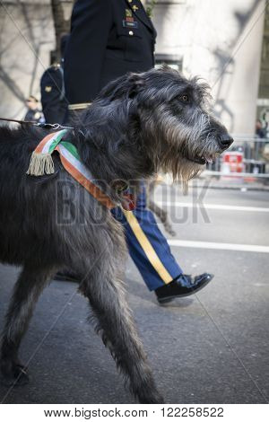 NEW YORK - MARCH 17, 2016: An Irish Wolfhound walks next to members of the US Army 1st Battalion 69th Infantry near St Patricks Cathedral during the parade on Saint Patricks Day on March 17, 2016.