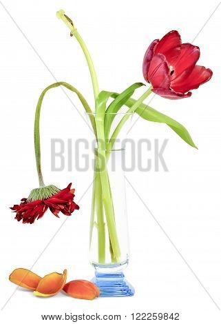 the sluggish old faded bouquet of tulips and gerbera in a blue glass vase isolated on white background