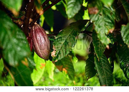 cacao pod on green tree in farm