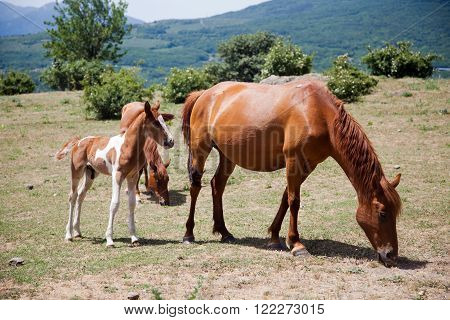 large and small horses grazing in field in mountains in Crimea