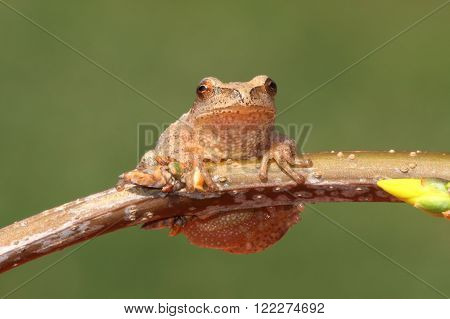 Spring Peeper (Pseudacris crucifer) on a branch with a green background