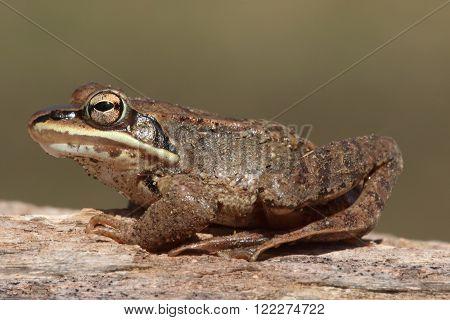 Wood Frog (Rana sylvatica) ssunning on a log