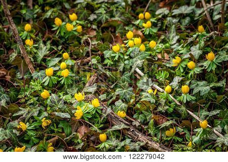 Eranthis and ivy in the garden in the spring poster