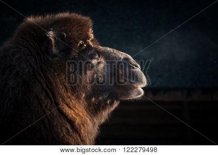 Close-up Of A Camels Head