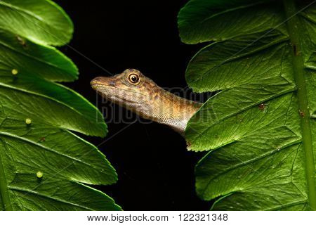 Anolis a small lizard in the Amazonian rain forest of Brazil, Peru, Ecuador and Bolivia. A beautiful reptile in the Amazon rainforest. A nocturnal animal