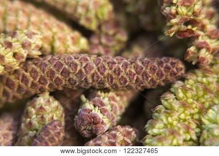 Extreme Close Up Of Catkins From Hazel Trees (corylus)