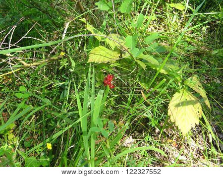 macro berry stone bramble Arctic raspberry in the wood against a grass summer Russia South Ural