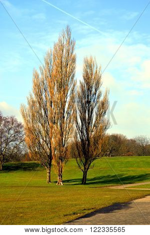 Lombardy Poplar Latin name Populus nigra Italica deciduous trees without leaves