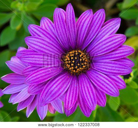 Perfect Purple Daisy found in my backyard garden